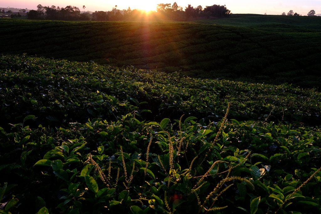 kebun teh sidamanik, tempat wisata baru di kabupaten simalungun | Seputarkota.com