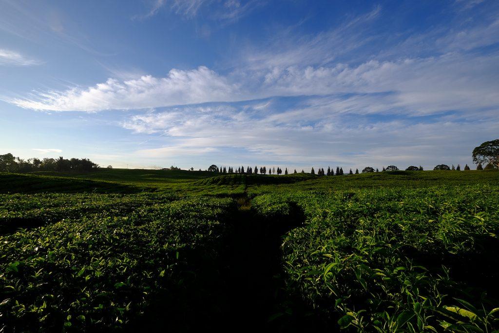 pemandangan alam kebun teh sidamanik | Seputarkota.com